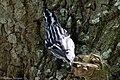 Black-and-white Warbler (male) Anahuac NWR - Woodlot TX 2018-04-25 12-32-41 (28196353048).jpg