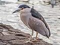 Black-crowned night heron (61526).jpg