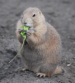 Black-tailed Prairie Dog (Cynomys ludovicianus) eating in Zoo Budapest 006.JPG