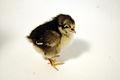 Black Australorp chick.jpg