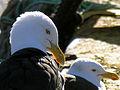 Black Back Gulls.jpg