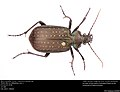 Black Caterpillar Hunter (Calosoma (Castrida) sayi) (34959744046).jpg