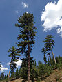 Black Pine - Karaçam - Pinus nigra 02.JPG