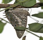 Black Rajah (Charaxes solon) in Hyderabad, AP W IMG 9463.jpg