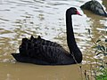 Black Swan - geograph.org.uk - 260032.jpg