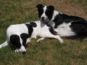 Two Border Collies.