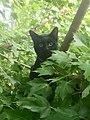 Black cat in maple tree.jpg