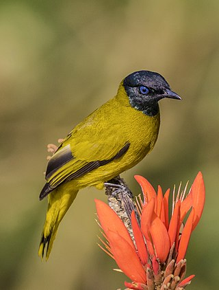 Black headed bulbul.jpg
