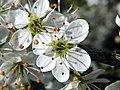 Blacktorn (Prunus spinosa), Great Ashby District Park (27648455761).jpg