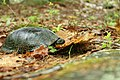 Blanding's turtle at New Boston Air Force Base (5861456748).jpg