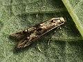 Blastodacna atra - Apple pith moth - Узкокрылая моль яблонная (39048418530).jpg