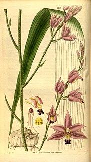 <i>Bletia purpurea</i> species of plant