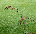 Bloeiwijze van Chasmanthium latifolium in herfstkleur. Locatie. Tuinreservaat Jonkervallei 02.jpg
