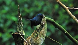 Blue-grey Robin, Ambua Lodge, PNG (5939530851).jpg