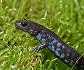 Blue-spotted Salamander (44091188431).jpg