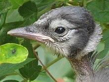 Blue Jay Wikipedia