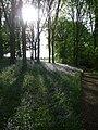Bluebell wood at Hodnet Hall Gardens - geograph.org.uk - 1470161.jpg