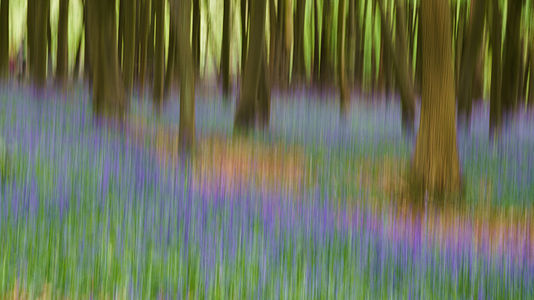 The bluebells with beech trees at Ashridge Estate. The image is the result of intentional camera movement (ICM), which creates an impressionistic effect.