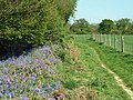Bluebells by the bridleway - geograph.org.uk - 2372523.jpg