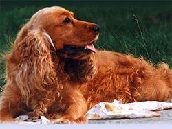 Bojars's english cocker spaniel.jpg