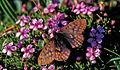 Boloria improba - Nature Conservation-001-073-g027.jpg