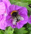 Bombus pratorum - Flickr - gailhampshire (4).jpg