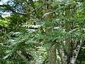 Botanical Garden of Peradeniya 66.JPG