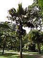 Botanical Garden of Peradeniya 82.JPG