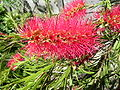 Bottlebrush03.jpg