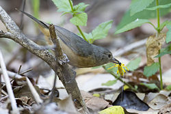Bowers strike thrush 2.jpg