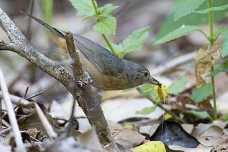 Shrikethrush - Image: Bowers strike thrush 2