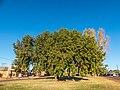 Brachychiton populneus Herbert St Boulia Central Western Queensland P1080645.jpg