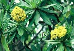 Brachyglottis huntii - Image: Brachyglottis DOC