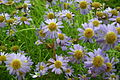 Brachyscome or Brachycome at lalbagh7305.JPG