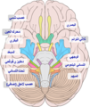 Brain human normal inferior view with labels ar.png