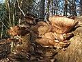 Branching Oyster Mushroom (Pleurotus cornucopiae) - geograph.org.uk - 1151726.jpg