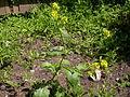 Brassica nigra (4995050414).jpg