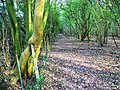 Bridleway through Redlodge Plantation - geograph.org.uk - 1238103.jpg
