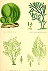 "British sea-weeds - drawn from Professor Harvey's ""Phycologia Britannica"" (1872) (20418770505).jpg"