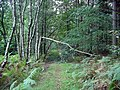Broken birch - geograph.org.uk - 256638.jpg