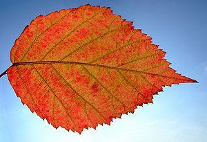 Photo of unidentified leaf