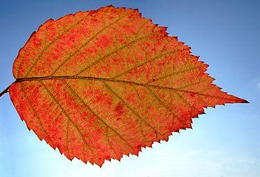Lá Rubus caesius mùa thu