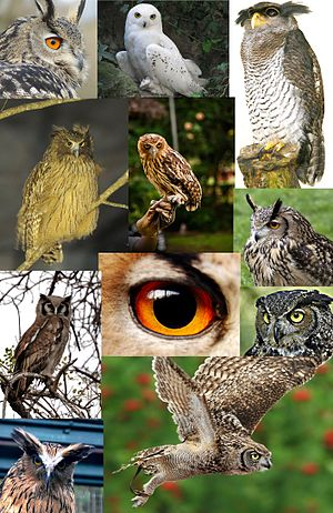 Bubo, Some owls from the genus.jpg