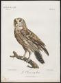 Bubo maculosus - 1796-1808 - Print - Iconographia Zoologica - Special Collections University of Amsterdam - UBA01 IZ18400103.tif