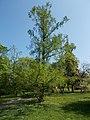 Budai Arborétum. Felső kert. Kínai mamutfenyő (Metasequoia glyptostroboides). - Budapest XI. kerület.JPG