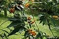 Buddleja-globosa-foliage.JPG