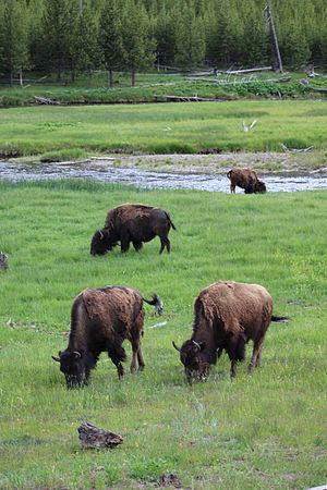 Yellowstone Park bison herd - Bison herd grazing in Yellowstone