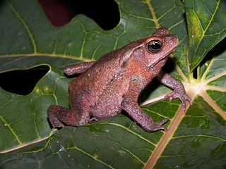 South American common toad species of Amphibia