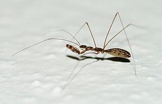 Emesinae subfamily of insects