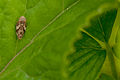 Bug on leaf (6071787707).jpg